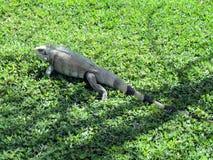 Iguana Lizard royalty free stock image