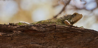 Iguana Lizard Stock Photo