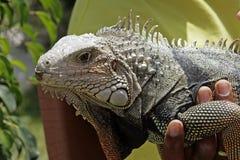 Iguana lizard Stock Photos