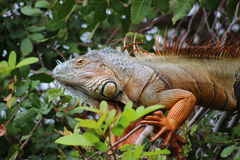 A Iguana, lizard, actual dinosaur. Is a beautiful lizard or iguana from Florida Catched in her natural habitat by me Stock Photos