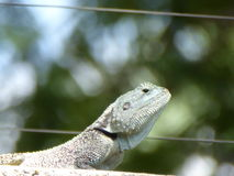 Iguana - Lizard. Attentive Greying Scaly Iguana on Concrete Pillar Stock Photos