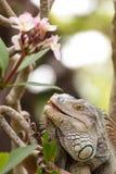Iguana lizard climbing a tree in the wild, reptile animal Stock Image