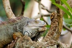 Iguana lizard climbing a tree in the wild Stock Photo