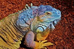 Iguana Lizard Stock Photos