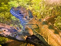 Iguana lizard dragon the crest on the back Royalty Free Stock Photography