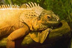 Iguana lizard dragon herbivorous lizard scaly Stock Images