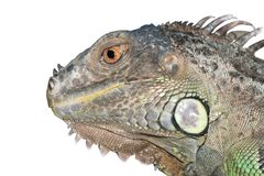 Iguana lizard dragon portrait Stock Photo