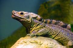 Iguana lizard dragon reptile Squamata. Herbivorous Royalty Free Stock Photography