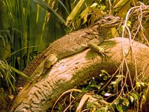 Iguana lizard dragon reptile Squamata. Herbivorous Stock Image