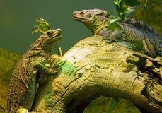 Iguana lizard dragon terrarium reptile Squamate Royalty Free Stock Image