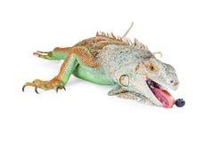 Iguana Lizard Eating Blueberry Stock Photo