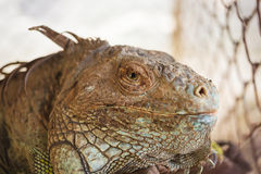 Iguana lizard, focus at eyes Royalty Free Stock Photo