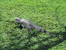 Iguana lizard on grass royalty free stock images