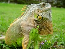 Iguana lizard - green reptile Royalty Free Stock Photos