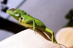 Iguana on a Hat. Iguana lizard on a hat in Sri-Lanka Stock Photo