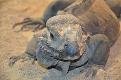 Iguana lizard head close up Royalty Free Stock Images