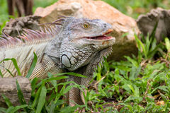 Iguana lizard laying on the grass in the wild. Iguana (/ɪˈɡwɑːnə/,[1][2] Spanish: [iˈɣwana]) is a genus of herbivorous lizards native stock image