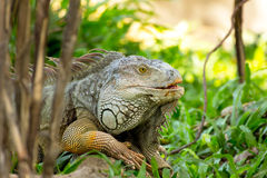 Iguana lizard laying on the grass in the wild Royalty Free Stock Images