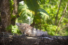 Iguana lizard in Mexico Stock Photos