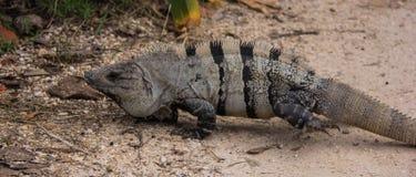 Iguana Lizard Near the Ruins of Tulum. Iguana lizard near the ancient ruins of Tulum, Mexico stock image