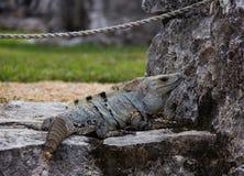 Iguana Lizard Near the Ruins of Tulum. Iguana lizard near the ancient ruins of Tulum, Mexico stock photography