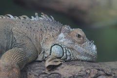Iguana lizard in Ocean Park, Hong Kong Stock Image