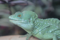 Iguana lizard in Ocean Park, Hong Kong Royalty Free Stock Photography