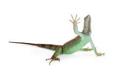 Iguana Lizard Raising Hand Up Stock Photography