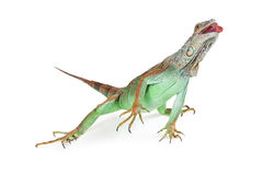 Iguana Lizard Reaching Tongue Out Stock Photos