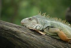 Iguana Lizard - Reptile Royalty Free Stock Image