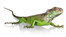 Iguana. Lizard Reptile Animal Large Green Nature royalty free stock images
