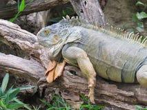Iguana, lizard resting on trunk fallen in the shade. Iguana, beautiful lizard resting on dry trunk fallen in shadow Royalty Free Stock Photography