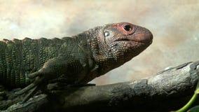Iguana lizard smelling environment stock video