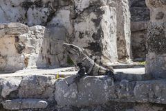 Iguana in Ruins in Tulum, Mexico. Iguana lizard in theRuined historic Architecture in the pre Columbian walled city of Tulum, in the Yucutan Peninsula in the royalty free stock photo