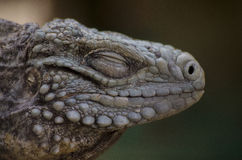 Iguana lizard. Wild animal natural stock photos