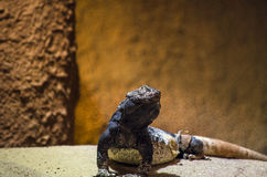 Iguana lizard Stock Photography
