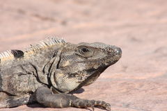 Iguana_Lizard2. Large Iguana lounging on rocks in tropical sun Stock Photo
