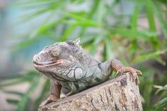 Iguana lizards Royalty Free Stock Photography