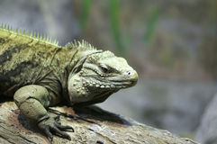 Iguana on Log Stock Image