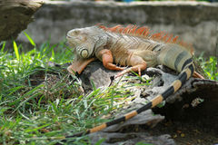 Iguana. On the log close-up Royalty Free Stock Photos