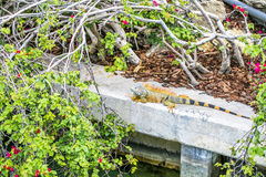 Iguana with long tail resting in the park Royalty Free Stock Images