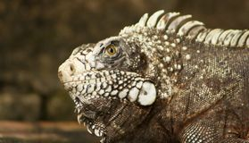 Iguana look Stock Image