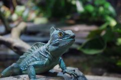 Iguana looking Royalty Free Stock Photo