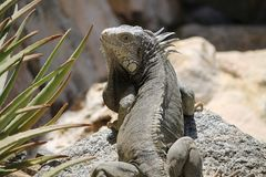 Iguana looking back while lounging on a rock royalty free stock photos