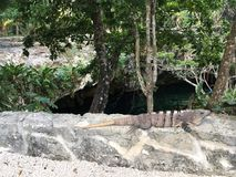 Iguana looking over Gran Cenote in royalty free stock images