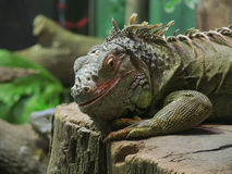 Iguana. Looking to the camera Stock Images