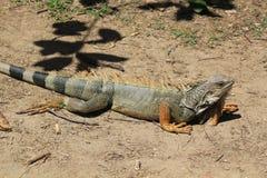 Iguana looking up Royalty Free Stock Image
