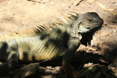 Iguana looking up. Stock Photo