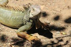 Iguana looking up. Stock Photography