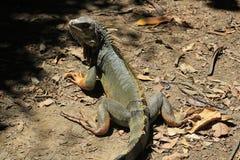 Iguana looking up. Stock Photos